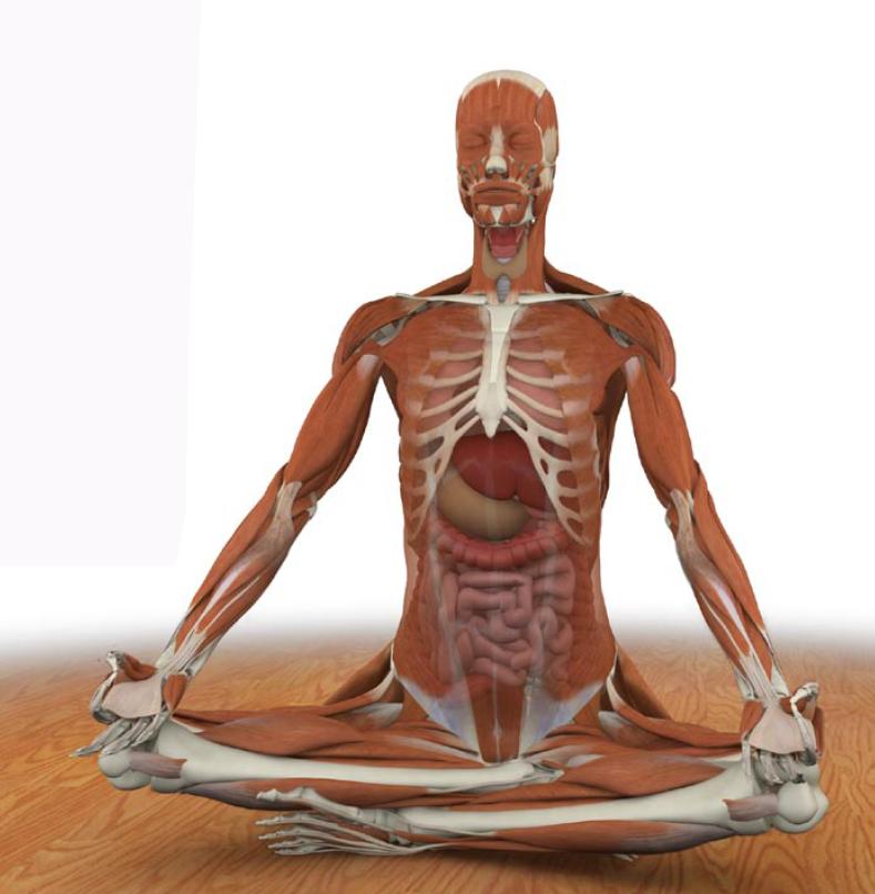El diafragma en el Yoga - Yoga Terapeutico