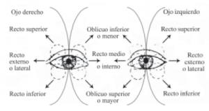 musculos-ojos-yoga